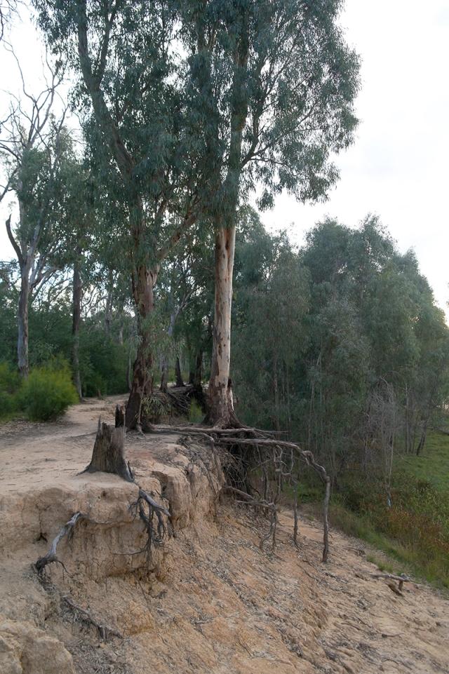 Echuca tree